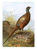 Pheasant Premium Giclee Print by  English