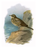 Rock Pipit Giclee Print by  English