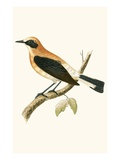 Black Eared Wheatear,  from 'A History of the Birds of Europe Not Observed in the British Isles' Giclee Print by  English