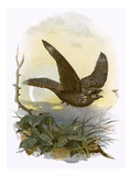 Nightjar Giclee Print by  English