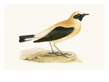 Russet Wheatear,  from 'A History of the Birds of Europe Not Observed in the British Isles' Giclee Print by  English