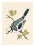 Azure Tit, Illustration from 'A History of the Birds of Europe Not Observed in the British Isles' Giclee Print by  English