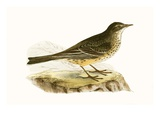 Pennsyvlanian Pipit,  from 'A History of the Birds of Europe Not Observed in the British Isles' Giclee Print by  English