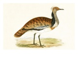 Ruffed Bustard,  from 'A History of the Birds of Europe Not Observed in the British Isles' Giclee Print by  English