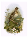 Tree Pipit Giclee Print by  English