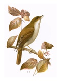 Nightingale Giclee Print by  English