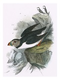 Puffin Giclee Print by  English