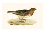 Red Throated Pipit,  from 'A History of the Birds of Europe Not Observed in the British Isles' Giclee Print by  English