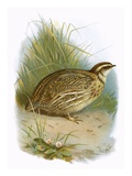 Quail Giclee Print by  English