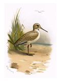 Dunlin Giclee Print by  English