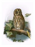 Tawny Owl Giclee Print by  English