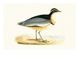Black Headed Plover,  from 'A History of the Birds of Europe Not Observed in the British Isles' Impression giclée par  English