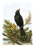 Blackbird Giclee Print by  English