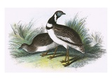 Little Bustard Giclee Print by  English