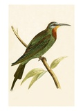 Blue Cheeked Bee Eater,  from 'A History of the Birds of Europe Not Observed in the British Isles' Giclee Print by  English