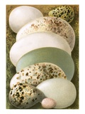 Eggs Giclee Print by  English