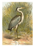 Heron Premium Giclee Print by  English