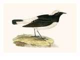 Pied Wheatear,  from 'A History of the Birds of Europe Not Observed in the British Isles' Giclee Print by  English