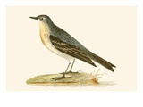 Water Pipit, Illustration from 'A History of the Birds of Europe Not Observed in the British Isles' Giclee Print by  English