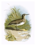 Sandpiper Giclee Print by  English