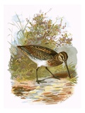 Snipe Giclee Print by  English
