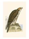 Saker Falcon,  from 'A History of the Birds of Europe Not Observed in the British Isles' Giclee Print by  English