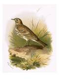 Meadow Pipit Giclee Print by  English