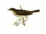 Thrush Nightingale,  from 'A History of the Birds of Europe Not Observed in the British Isles' Giclee Print by  English