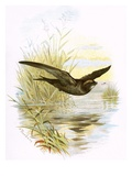 Swift Giclee Print by  English