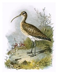 Curlew Premium Giclee Print by  English