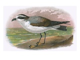 White Bellied Petrel Impression giclée par  English