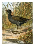 Moorhen Giclee Print by  English
