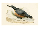 Dalmatian Nuthatch,  from 'A History of the Birds of Europe Not Observed in the British Isles' Reproduction procédé giclée par  English