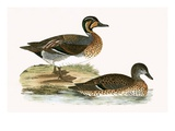 Clucking Teal,  from 'A History of the Birds of Europe Not Observed in the British Isles' Giclee Print by  English