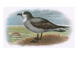 White Throated Grey Petrel Impression giclée par  English