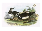 Turnstone Premium Giclee Print by  English