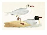 Mediterranean Black Headed Gull Giclee Print by  English