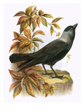 Jackdaw Giclee Print by  English