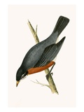 Red Breasted Thrush,  from 'A History of the Birds of Europe Not Observed in the British Isles' Giclee Print by  English