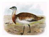 Great Bustard Giclee Print by  English
