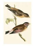 Crimson Winged Grosbeak,  from 'A History of the Birds of Europe Not Observed in the British Isles' Giclee Print by  English