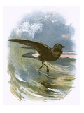 Storm Petrel Impression giclée par  English