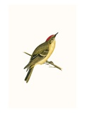 Ruby Crowned Kinglet,  from 'A History of the Birds of Europe Not Observed in the British Isles' Giclee Print by  English