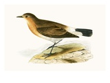 Menetries Wheatear,  from 'A History of the Birds of Europe Not Observed in the British Isles' Giclee Print by  English