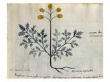 Cod. CCXXXVII Artemisia, Medicinal Plant from a 'Herbarium Apuleii Platonicii' Giclee Print by  Italian