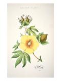 A Cotton Plant (Colour Litho) Premium Giclee Print by  American