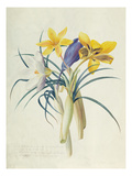 Study of Four Species of Crocus Giclee Print by Georg Dionysius Ehret