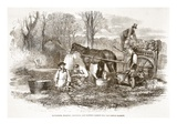 Gathering, Washing, Bunching, and Carting Carrots for the London Market Giclee Print by  English