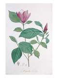 Magnolia Discolor, Engraved by Legrand (Colour Litho) Giclee Print by Henri Joseph Redoute