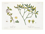 Birch (Left) and Mistletoe (Right), Fig. 9 and 10 from 'The Young Landsman', Published Vienna, 1845 Giclee Print by Matthias Trentsensky